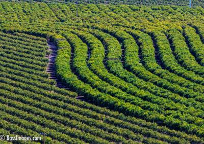 Camarillo crop rows-1-2