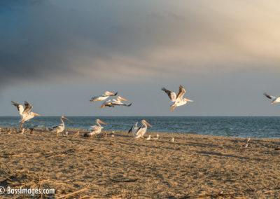 White Pelicans in flight-1-2