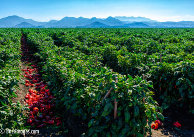 Red Peppers and mountains-1