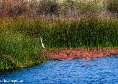 Camarillo settling pond egret-1
