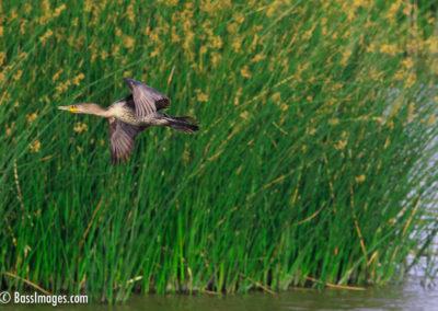 Double-crested cormorant Camarillo-6