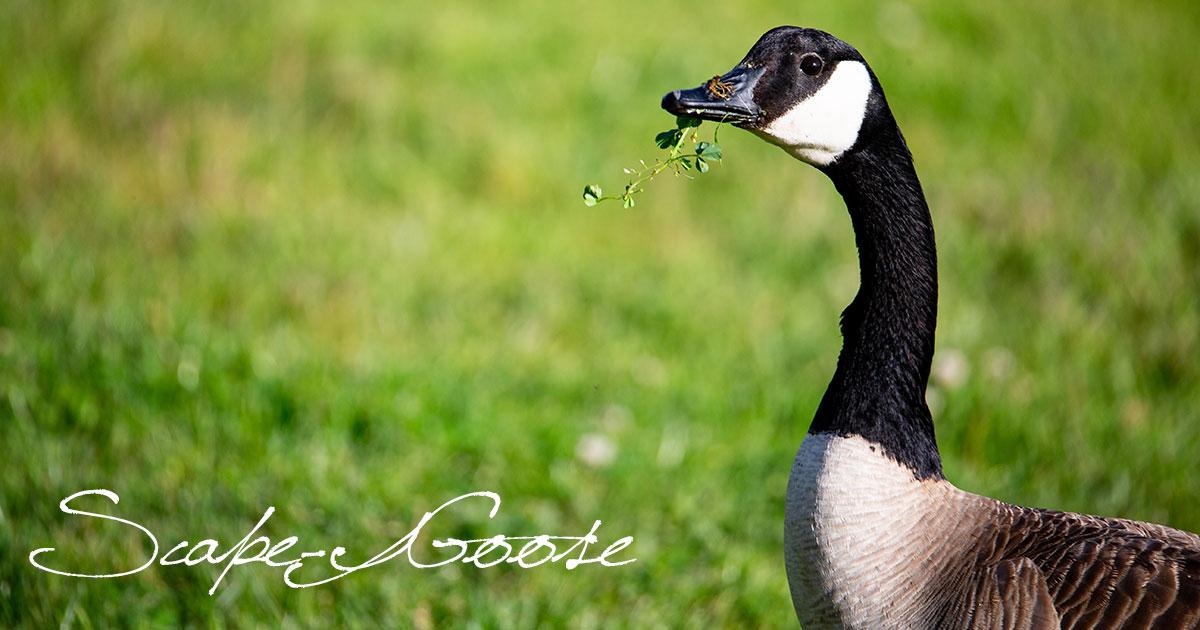 Scape-Goose