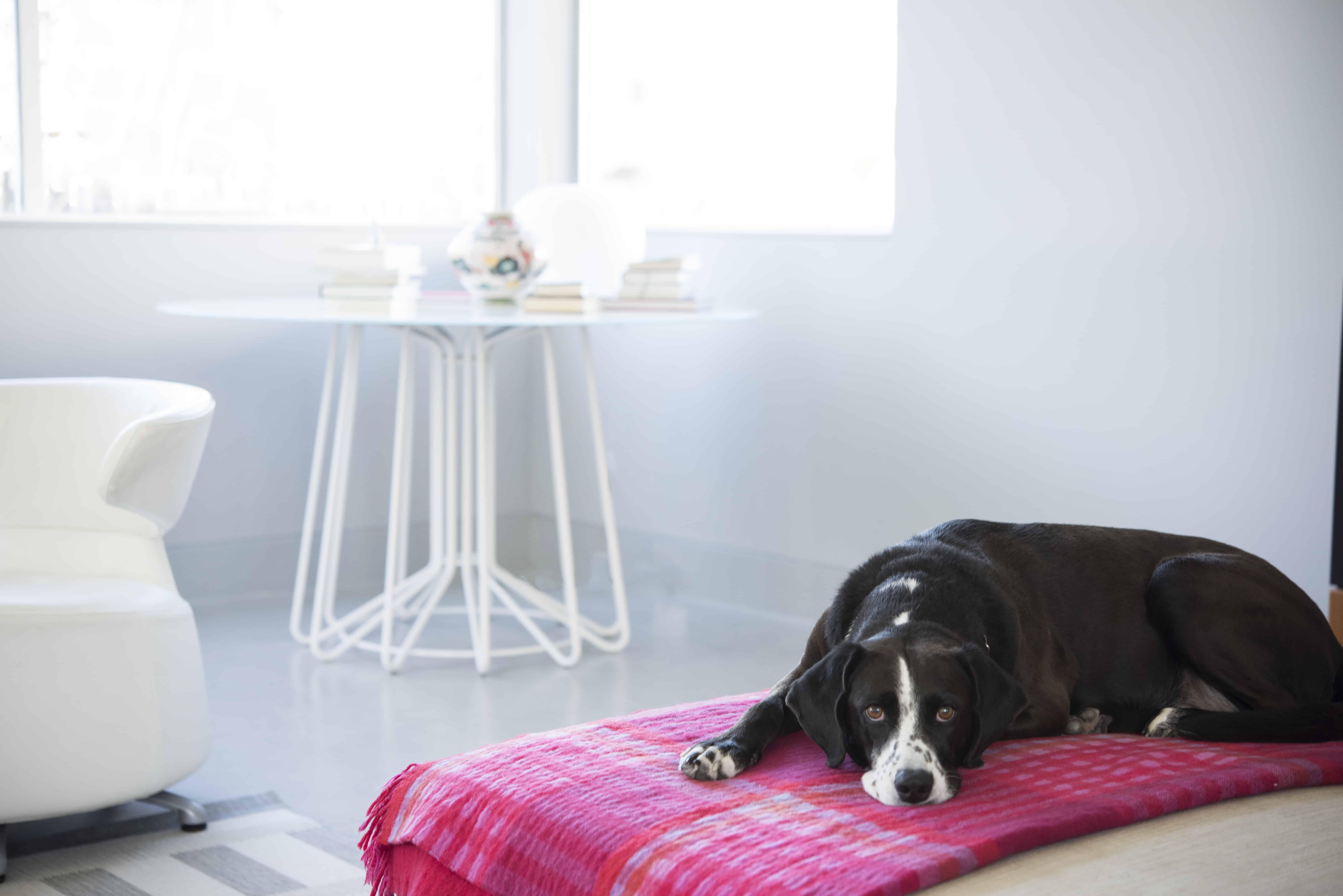 modern home dog