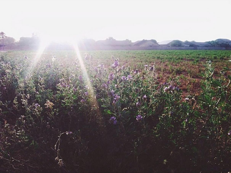 Alfalfa Fields in Gilbert, AZ