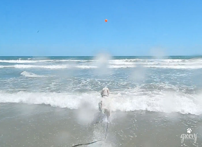 BAYWATCH GOLDENDOODLE