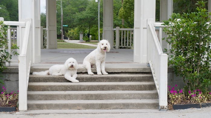 Harley and Jax love exploring Hampton Park - 63 acres right in the middle of downtown Charleston.