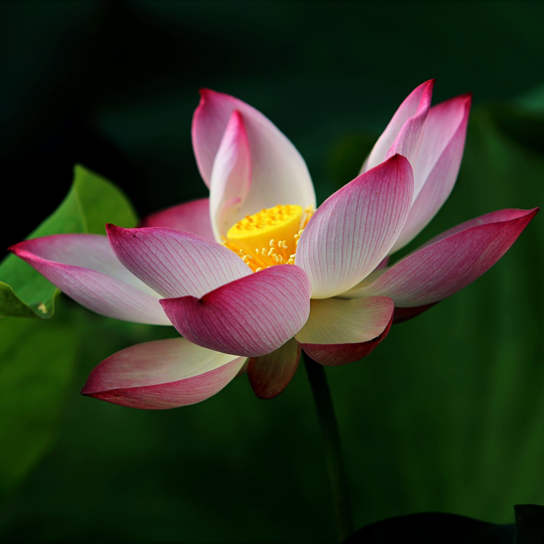 Lotus sq