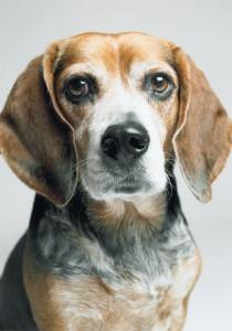 Jan's adorable beagle, Schumacher
