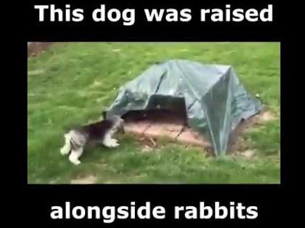 dog raised by rabbits 435w