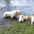 swimming puppies 380