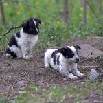 Puppies of Chernobyl