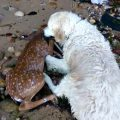 dog rescues drowning fawn
