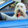 dogs crashing cars