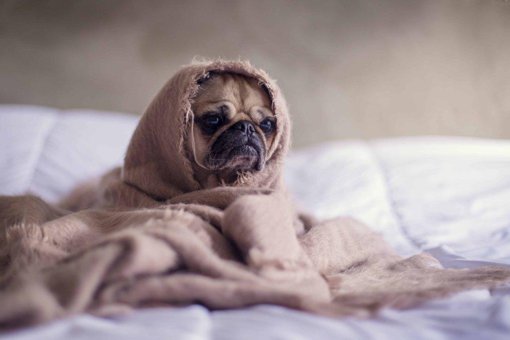 Pug that can't find a boyfriend