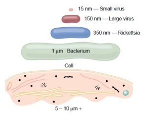 size of virus compared with other organisms