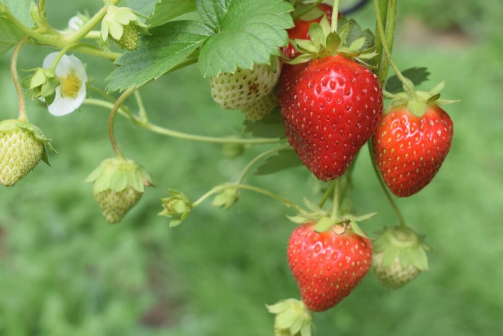 Image of strawberries as an example of organic foods that are worth it to buy.