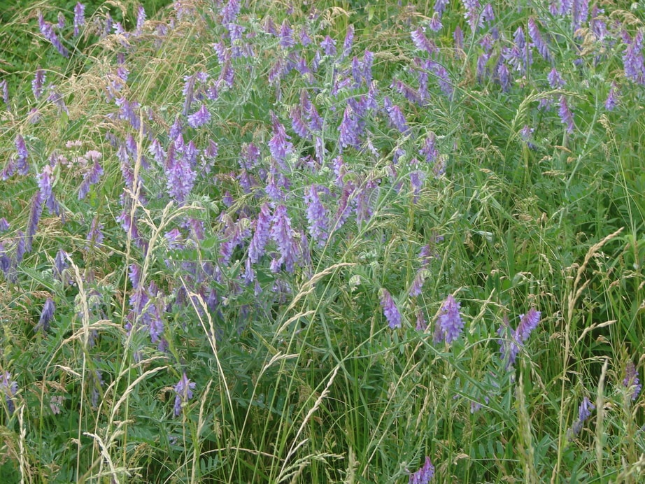Photo of purple wildflowers at an Eye 380 planting site.
