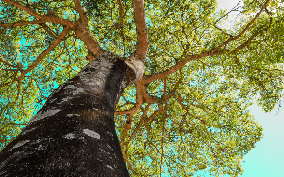 The canopy of a large tree