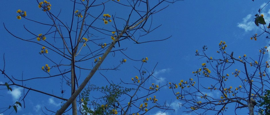 tree in Mexico with yellow blosoms