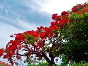 flowering tree playa del carmen