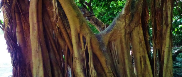 Tree Playa del carmen roots