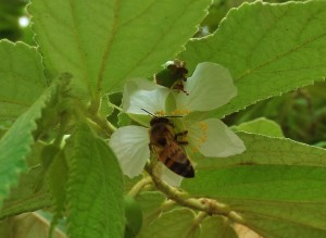mexican bee