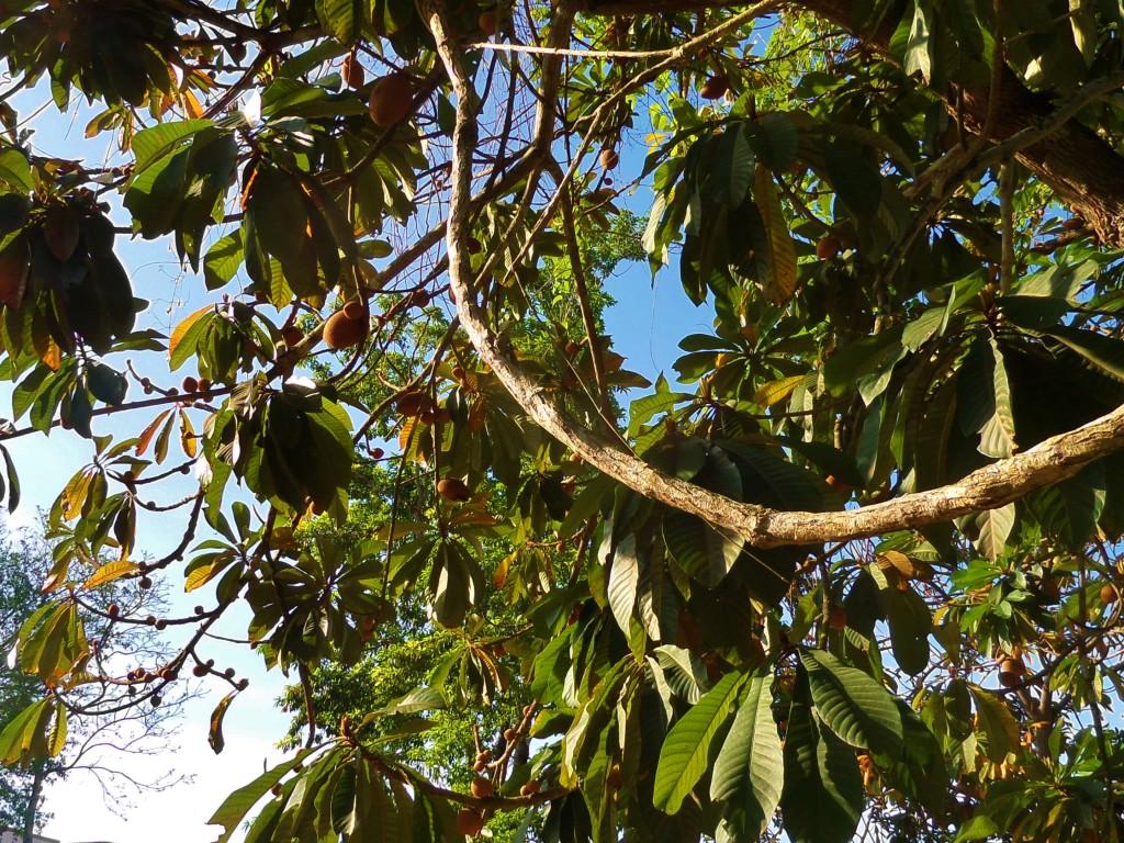 Mamey fruit tree