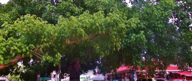 Ceiba Tree in Playa Del Carmen