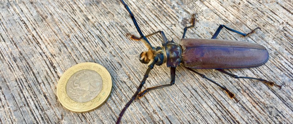 Large beetle next to a 10 peso coin.