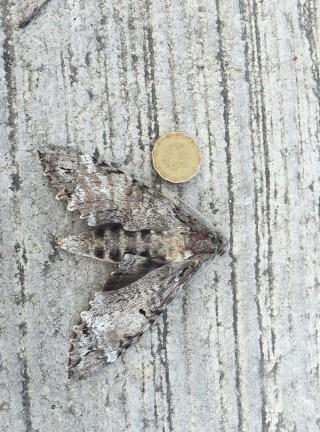 moth yucatan Mexico