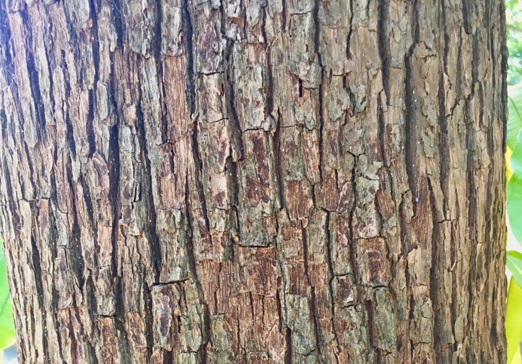 Caimito tree
