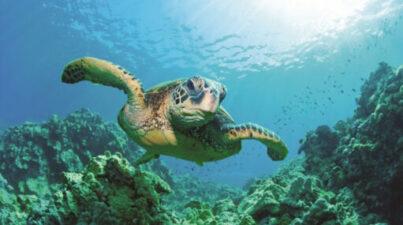 sea turtle in reef
