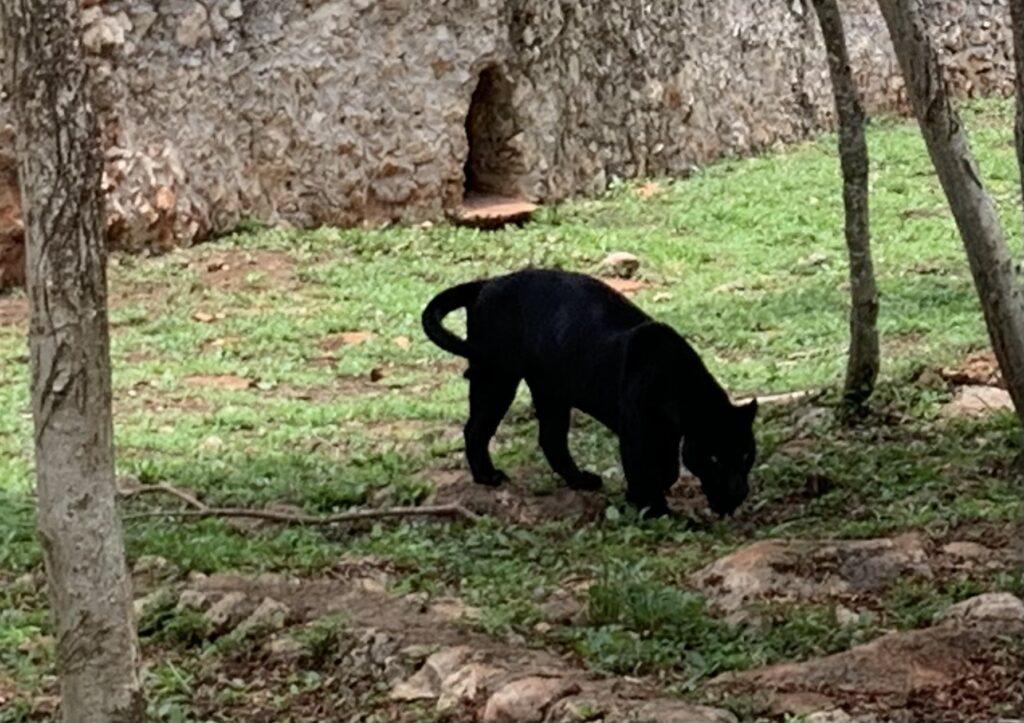 Jaguar at Vallazoo