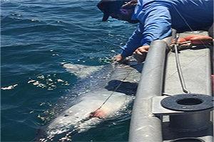 Tiger shark fishing guide on Pine Island