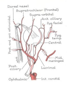 Εικόνα 1. Το πλούσιο αρτηριακό δίκτυο του οφθαλμού εκ της οφθαλμικής αρτηρίας, η οποία αποτελεί κλάδο της έσω καρωτίδος (Από την Ανατομία του Grant).