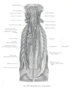 Εικόνα 4. Οι εν τω βάθει μύες της ράχεως. Οι ιερονωτιαίοι μύες αποτελούν την 5η στοιβάδα των ραχιαίων μυών και είναι ιδιαίτερα σημαντικοί για τις κινήσεις της σπονδυλικής στήλης (Από την Ανατομία του Grant) [4].