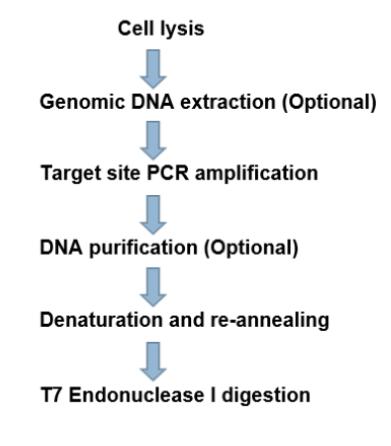 T7 Endonuclease Protocol
