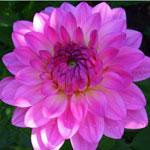 Pink Flower Bay City Garden Club