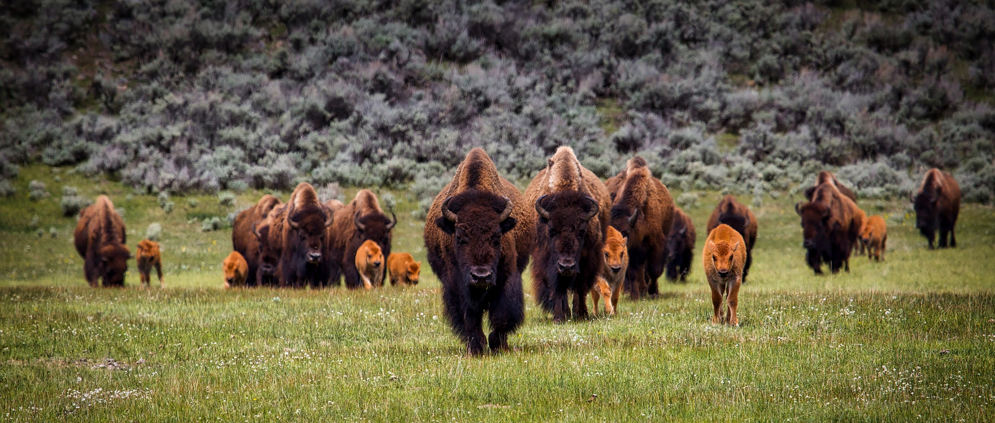Sacred Earth Council, Bison