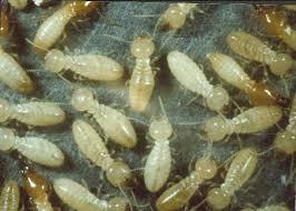 معلومات عن النمل الابيض بالدمام