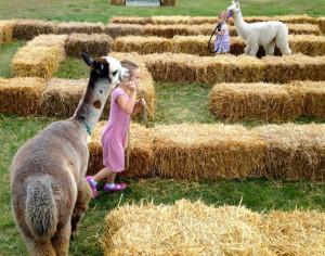 child-leading-alpaca