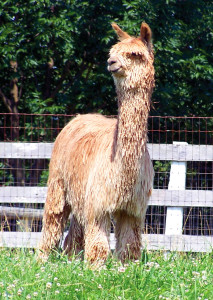 Champion Suri Alpaca herdsire