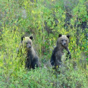 Grizzly Bear Cubs 823kb