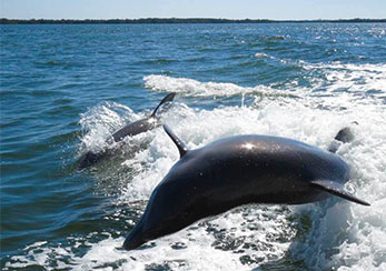 Dolphin Tour With a Visit to Calusa Island Indian Shell Mounds