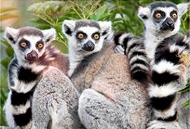 aquarium Lemurs