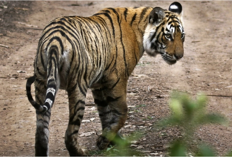 'Tiger on my farm': India coal hub brings new dangers in villages