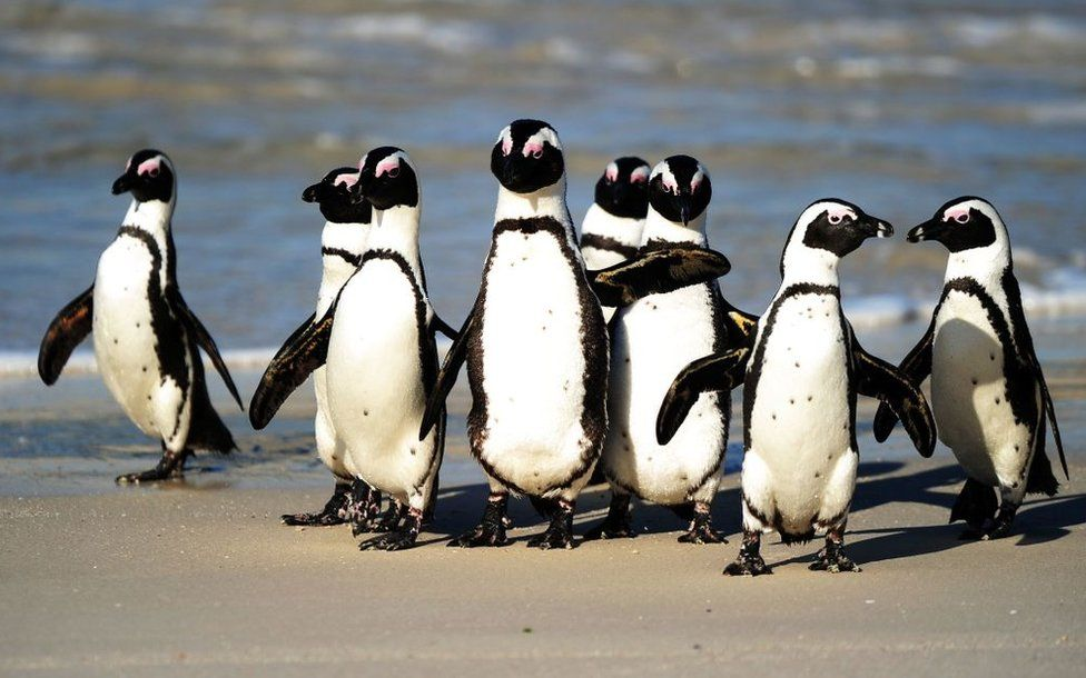 Endangered South African penguins killed by swarm of bees near Cape Town
