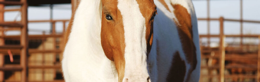 Rebound PRF for Equine Hoof Laceration