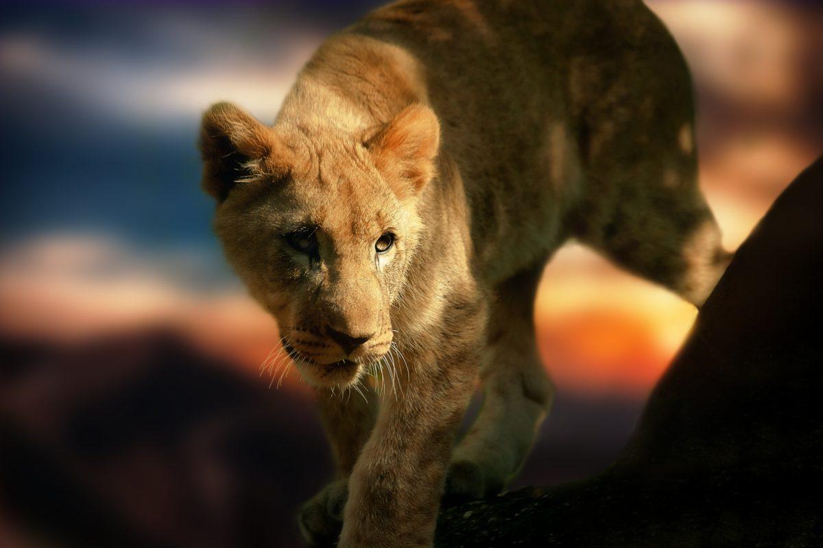 África do Sul _ Lion-Wild Animal