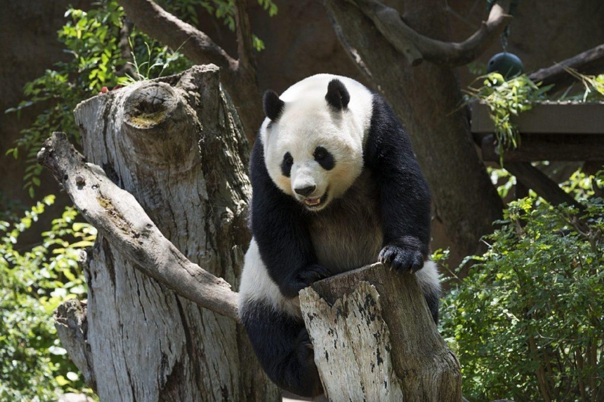 China_panda-bear-wildlife-zoo-cute-china-mammal